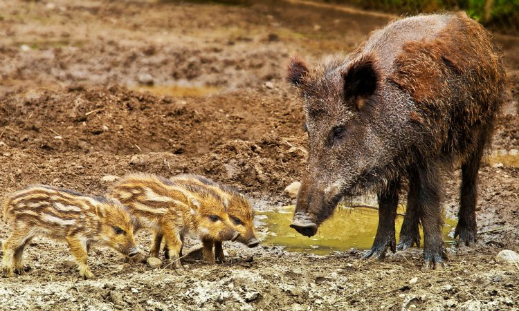 Wild boar working group to weigh up feral pig population control