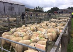 Prime lamb prices strengthen in run-up to Christmas