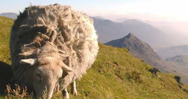 48 sheep stolen from Welsh agricultural university