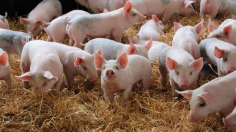 2 new recruits join AHDB's pork team