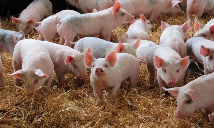 UK pork trade: British exports fall 7% in June