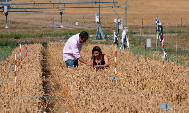 Groundbreaking research uncovers new wheat breeding tool