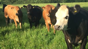 Welsh on-farm meetings to focus on beef production from grass