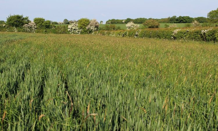 The results are in…but do cover crops really work against black-grass?