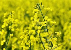 Sclerotinia infection risk alerts return for 2019