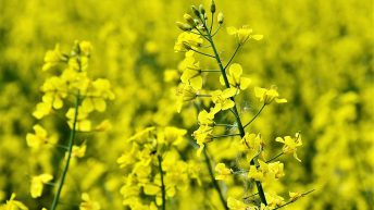 Scottish farmers launch trial to grow UK's first organic oilseed rape crop