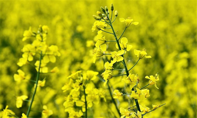 Pest pressure for oilseed rape leads to cereals area growth
