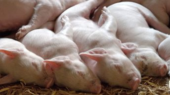 African Swine Fever: 664 cases in western Eurasia since July