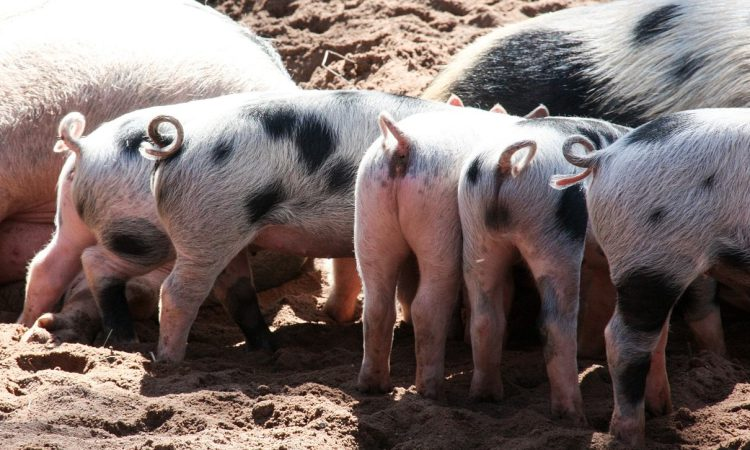 8,000 pigs culled as African Swine Fever confirmed in China