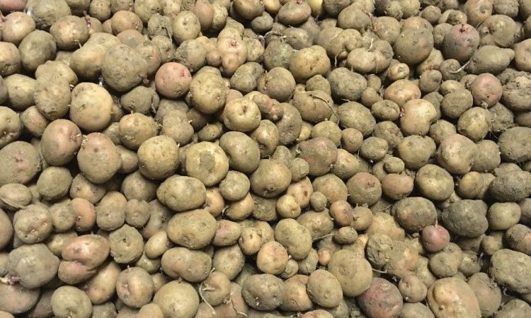 UK signs major export deal to ship seed potatoes to China