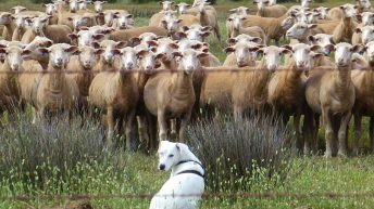Planning winter feed options for sheep