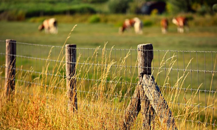 Metal thieves let cows out after stealing 700m of wire