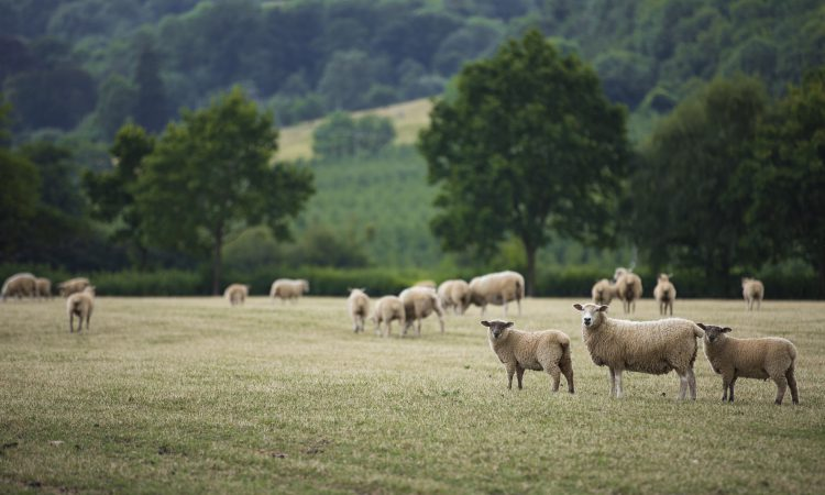 Which English area is 'top of the flocks?'