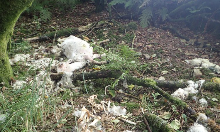 30 sheep illegally dumped at Cornwall reservoir