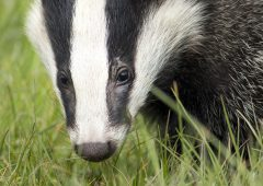 TB: More cattle slaughtered in last 5 years in Wales than Welsh badger population