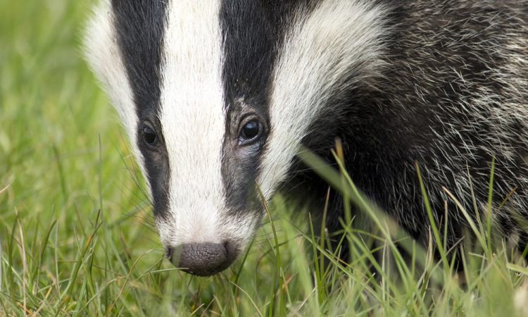 Survey reveals bovine TB in a fifth of roadkill badgers in Cheshire