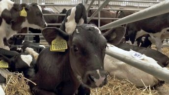 Dark Side of Dairy: Even the calves in the market were not Scottish calves