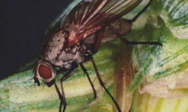 Early egg count results indicate a relatively low wheat bulb fly risk