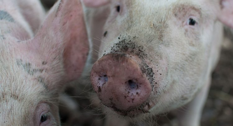 UK research team leads international fight against African Swine Fever
