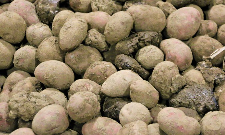 Potato stocks down 13% on five-year average