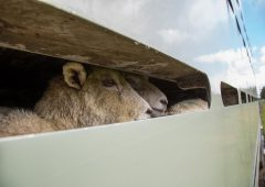 Livestock theft rises by nearly 20% as rustlers raid UK farms