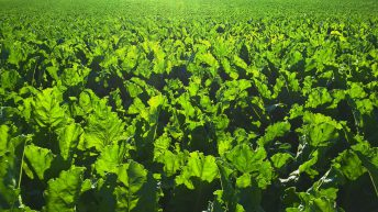 Final call for sugar beet growers to claim their share of levy refund