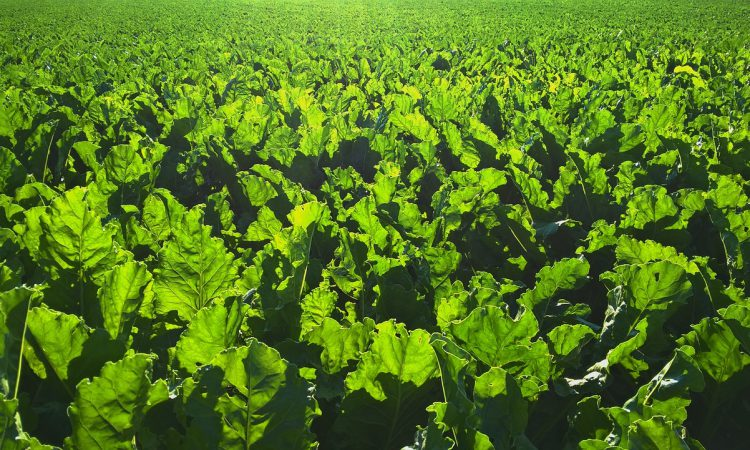 Emergency sugar beet neonicotinoid applications rejected