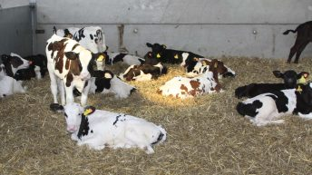 Calves with company found to grow the best