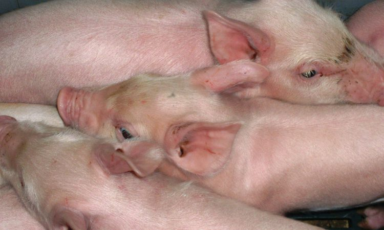 African swine fever outbreak kills 72 pigs in China – report