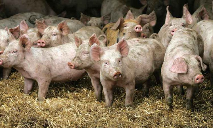 Prime pig prices rise as supplies remain tight