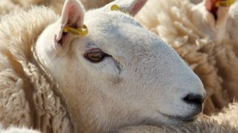 British sheep meat to head to India in new export deal