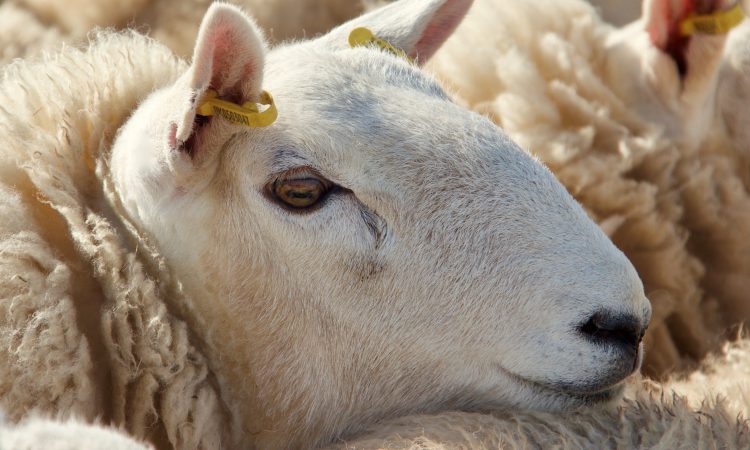 Operation Stock: 3 men charged over illegal sheep butchery offences