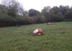 9 cattle die after eating yew tree trimmings dumped in field