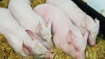 African Swine Fever: 85 pigs confirmed to have disease in Mongolia