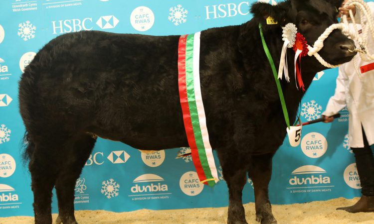 Sweet victory at Royal Welsh Winter Fair as ICandy clinches beef championship