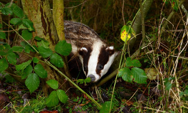 New badger research sheds light on why controlling TB has been so difficult