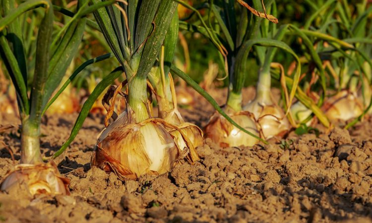 British onion crop yields fall by 40%