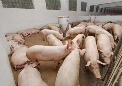 Pig behaviour research finds some 'surprising discoveries'