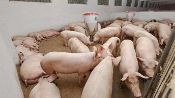 'Real Welfare' improvements on UK pig farms