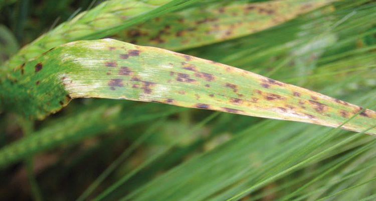 Spotting ramularia in barley, subject of new video