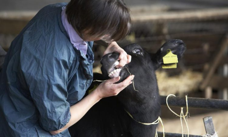 Bluetongue virus detected in third consignment of imported cattle