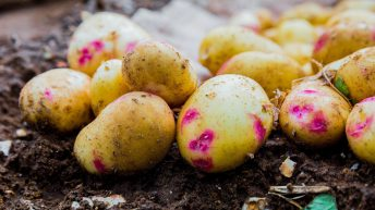Grow Your Own Potatoes Programme to continue in 2021