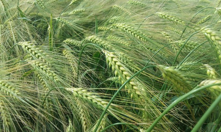 Newly recommended hybrid barley varieties broadens grower choice