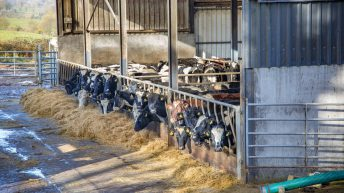Range of factors impacting prime cattle prices