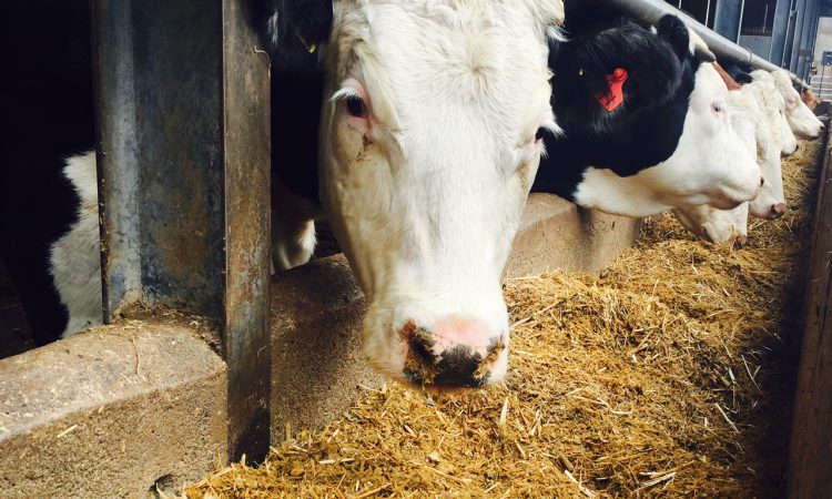 Bluetongue detected in cow imported from France