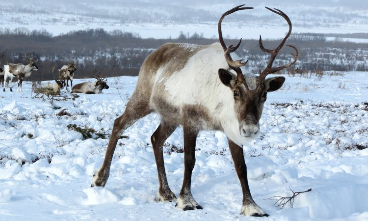 New study shows reindeer's body clocks don't need daylight