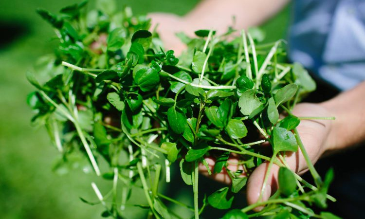 Inspiring a new audience for watercress
