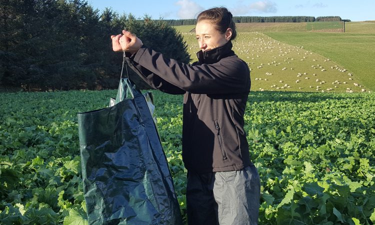 Brassica Day to offer advice on best practice on out-wintering