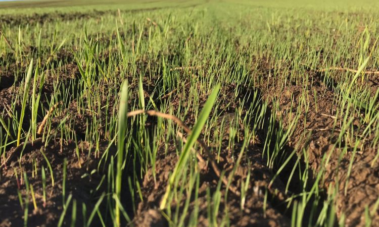 3-step blackgrass plan could help weed out uneconomic crops