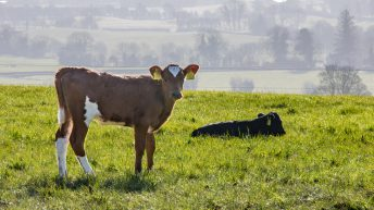 Number of cattle infected with BVD falls in Northern Ireland
